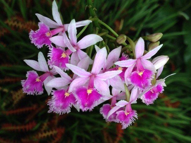 epidendrum orquidea