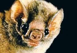cara de murciélago