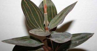 ludisia orquidea