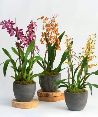 oncidium orquideas