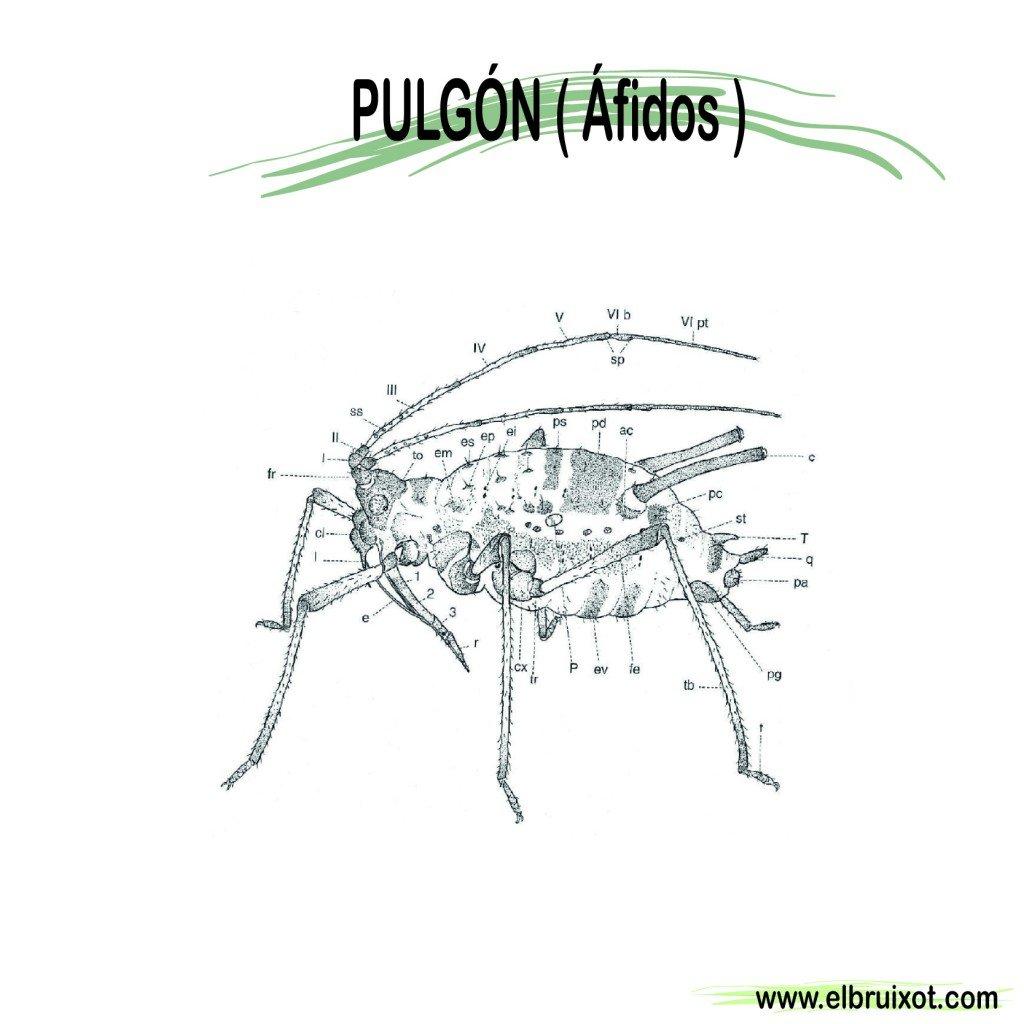 pulgon-01