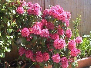 """"""" Rhododendron spp."""""""
