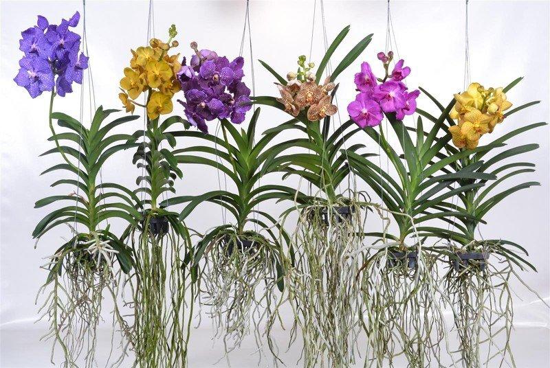vanda orquideas