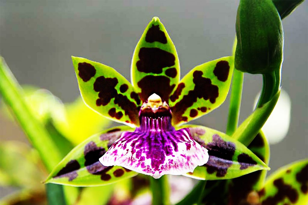 zygopetalum orquidea